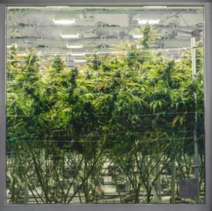 SECRETS OF HOMEGROWN CANNABIS REVEALED